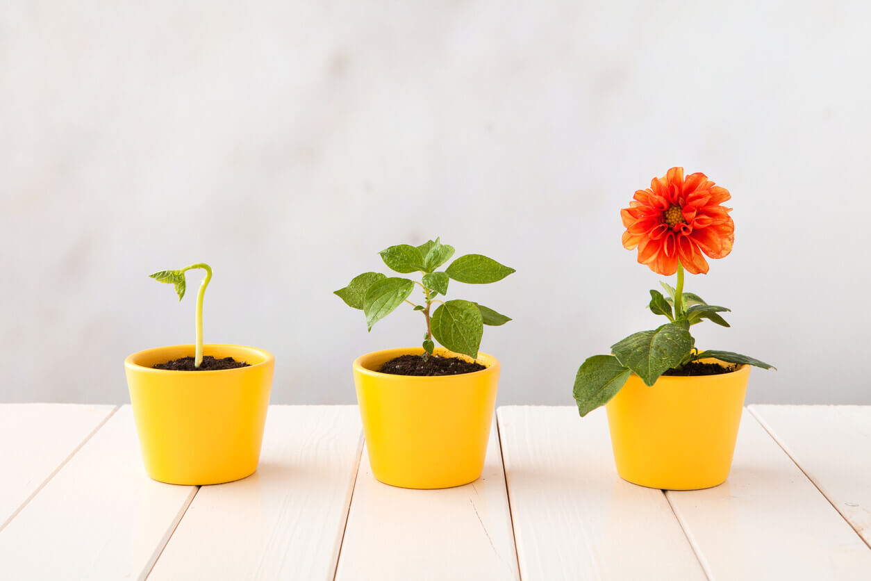 Three plants in different growth stages in yellow pots