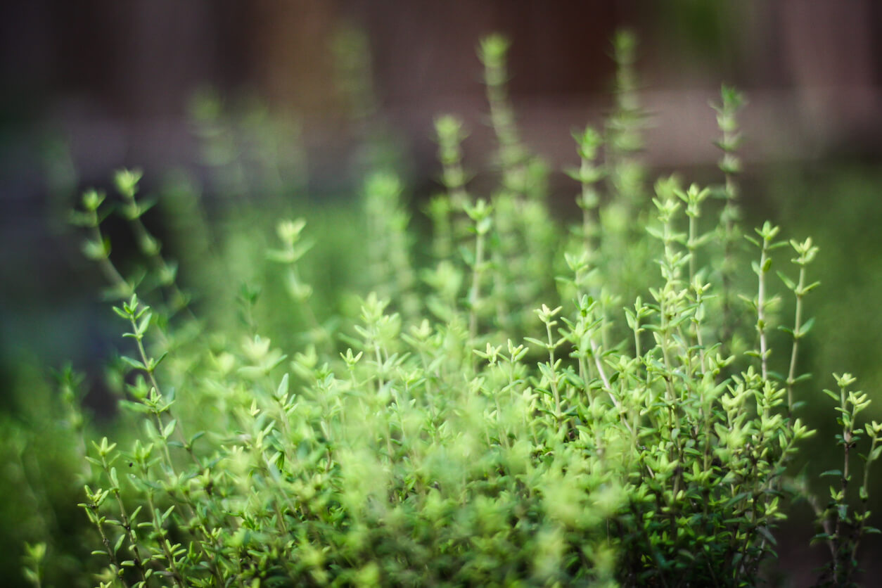 Close up of thyme garden