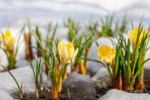 Early spring crocus flowers in snow