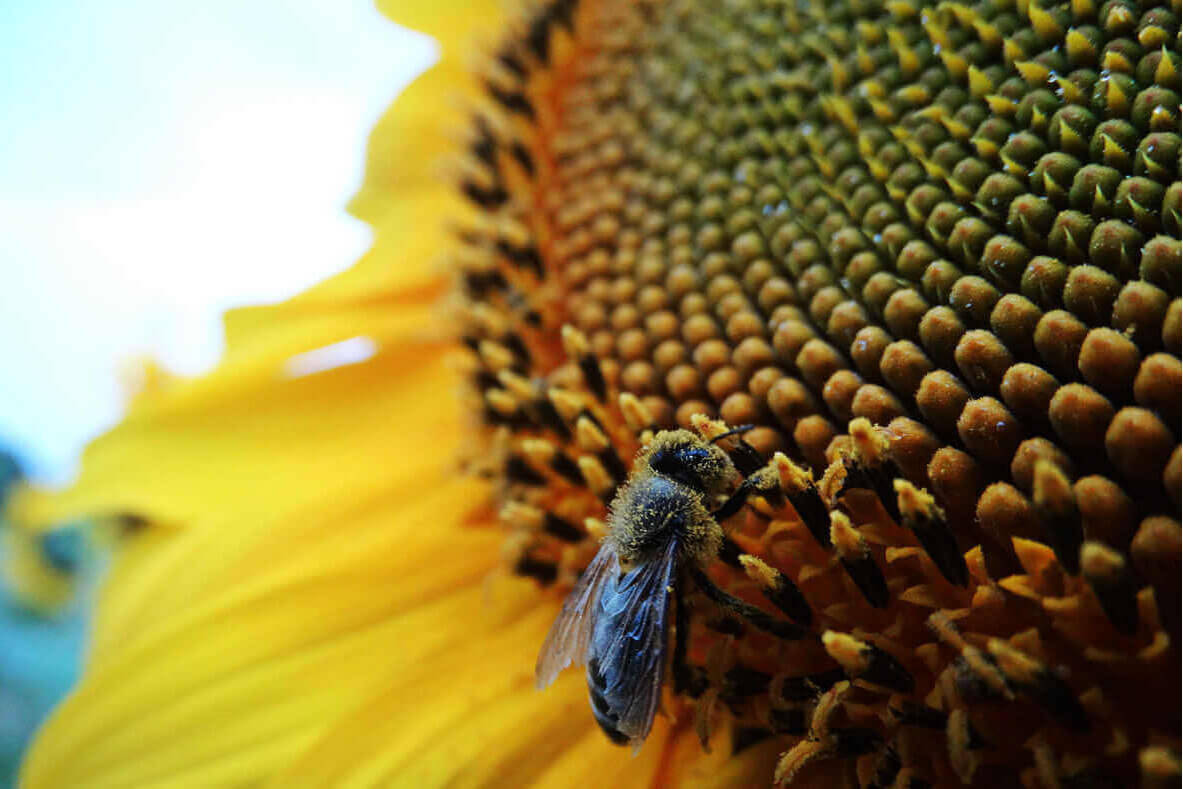 Bee landed on the head of a sunflower