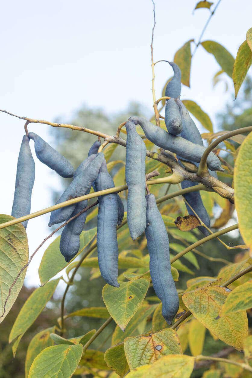 Blue Sausage Tree