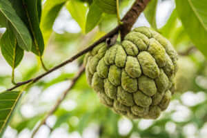 Custard Apple on a Tree