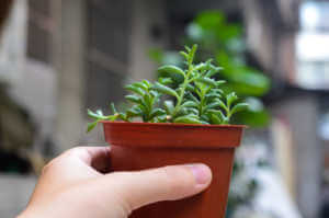 Potted dolphin succulent