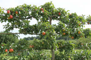 A Crop of Apples on an Espalier Fruit Tree.