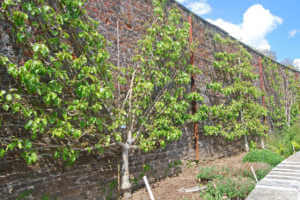 espalier fruit trees against old wall
