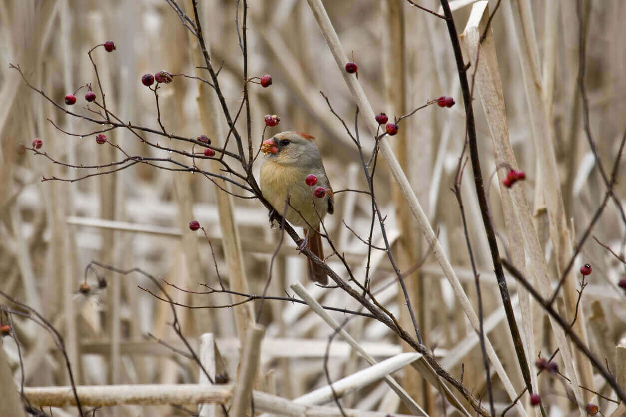 A female Northern Cardinal eating red berries
