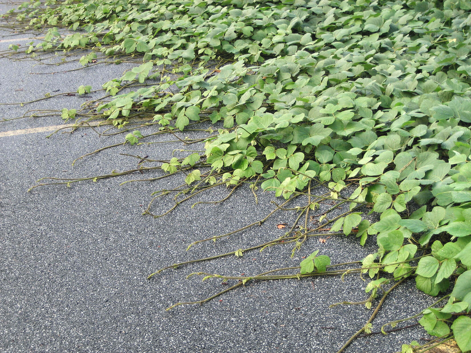 Kudzu attack over parking lot