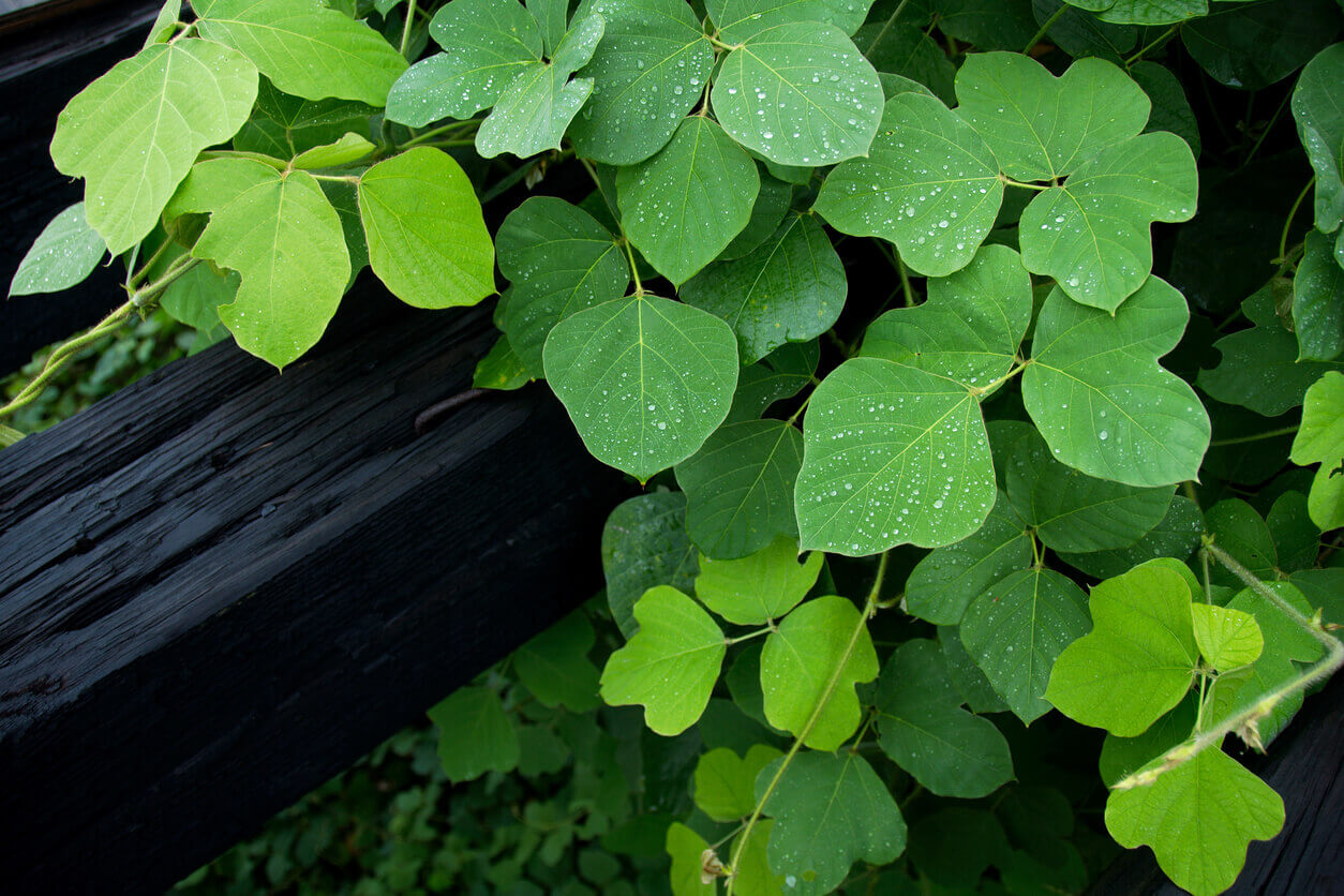 Kudzu Leaves