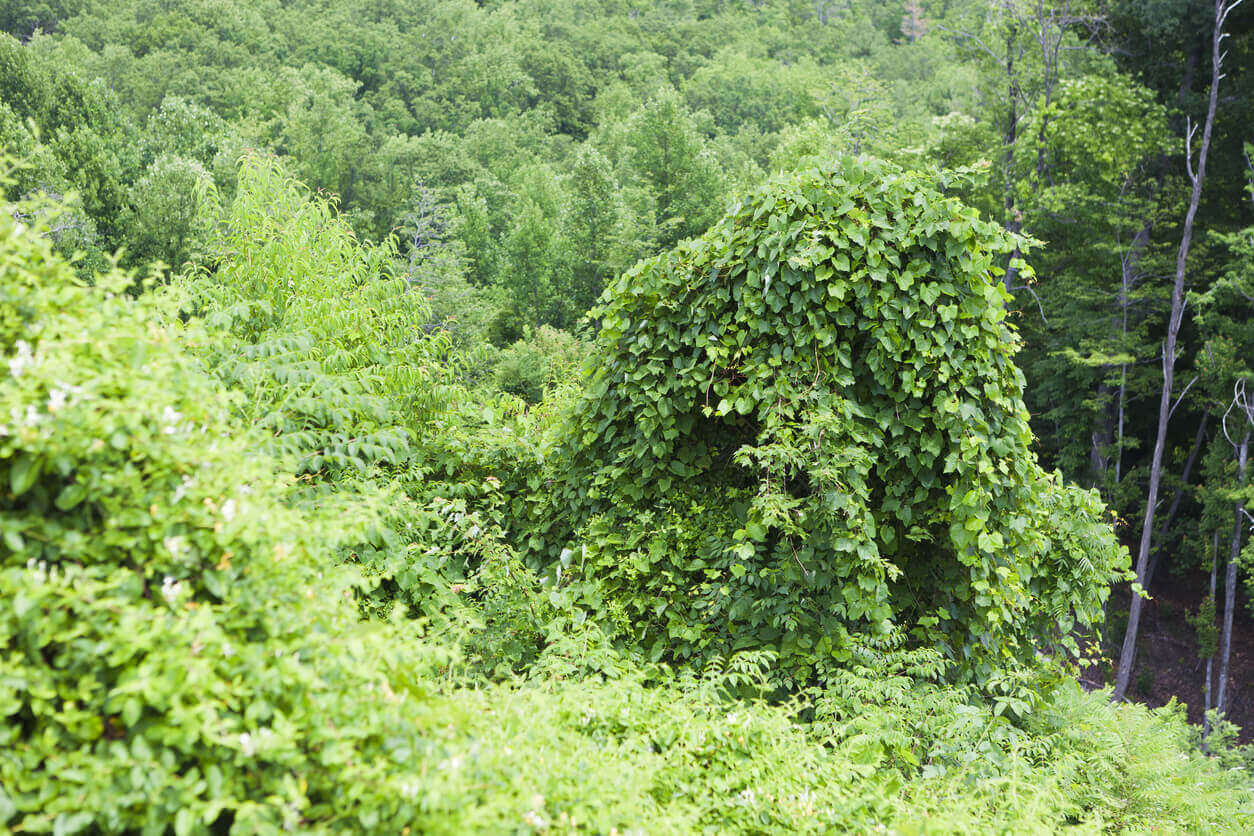 Kudzu growing over other plants