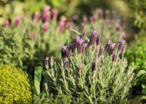 Lavender in Backyard