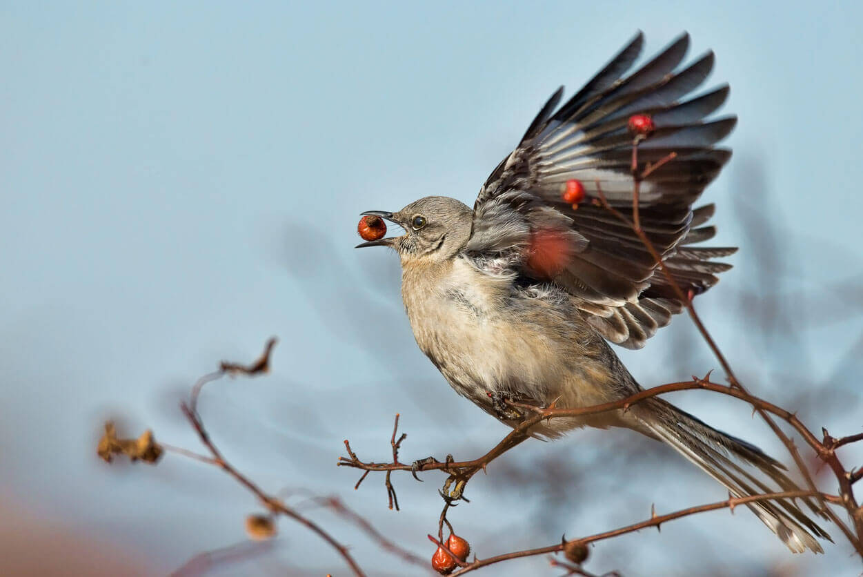 Mockingbird eating berries