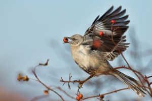 Northen mockingbird eating berries