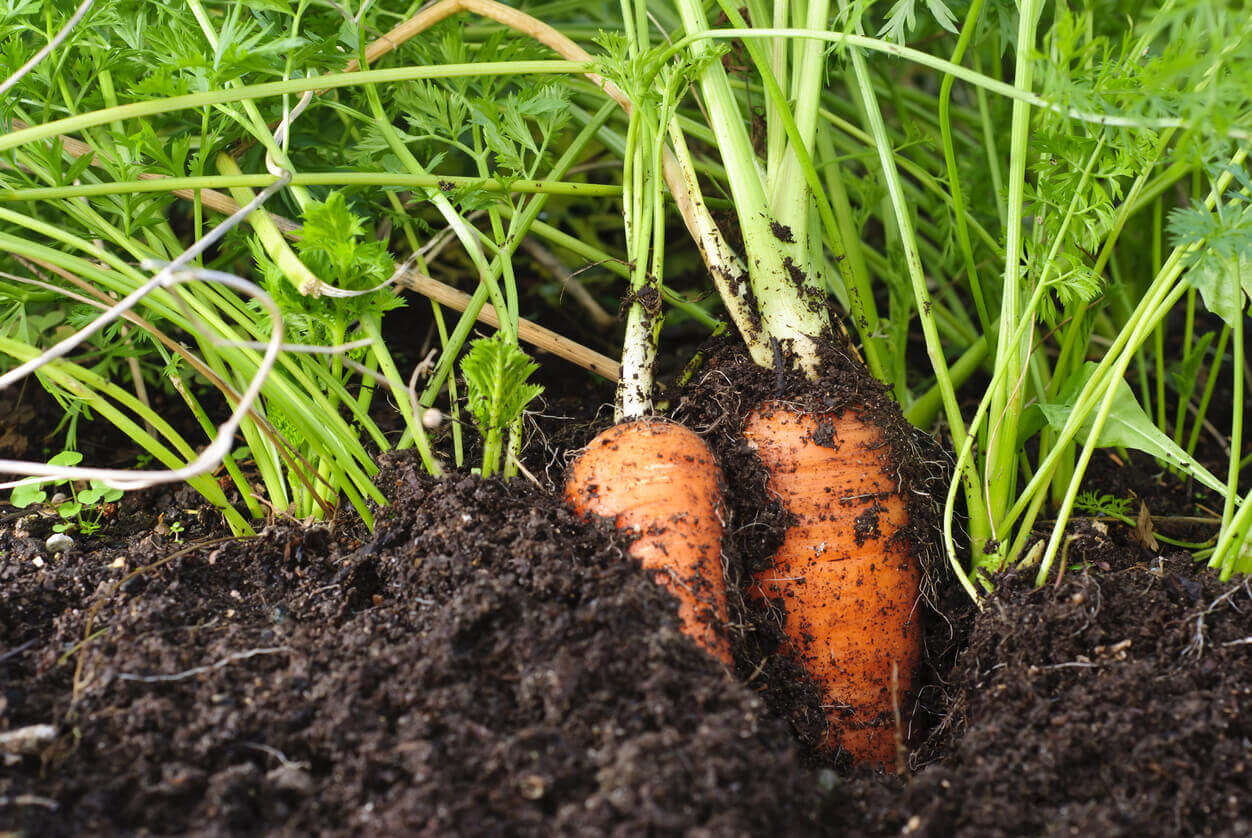 Two organic carrots peeking out of the dirt