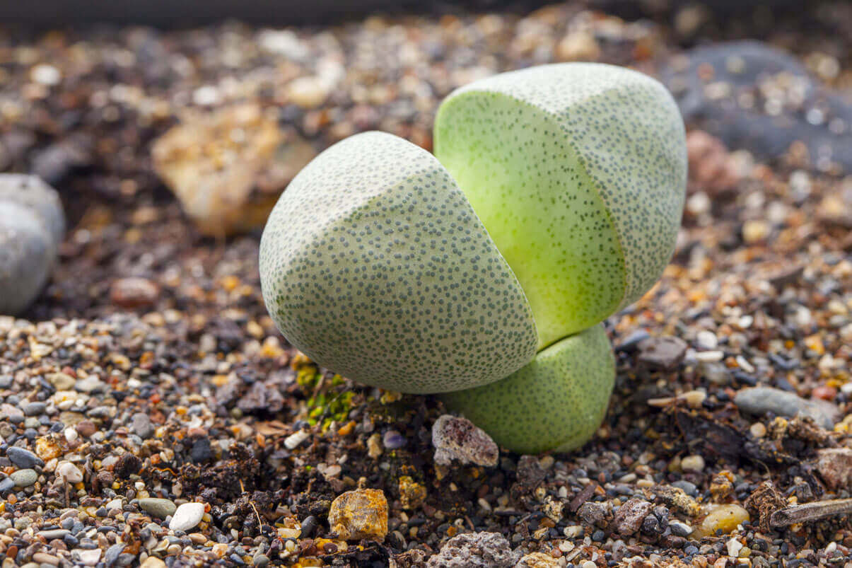 Split rock succulent growning in ground