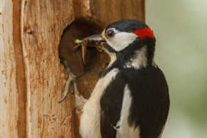 Spotted woodpecker eating from tree
