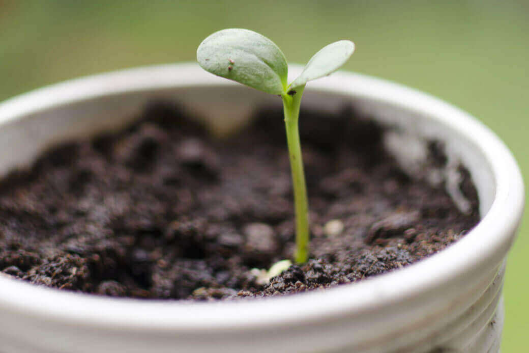 Little sunflower sprout in white pot