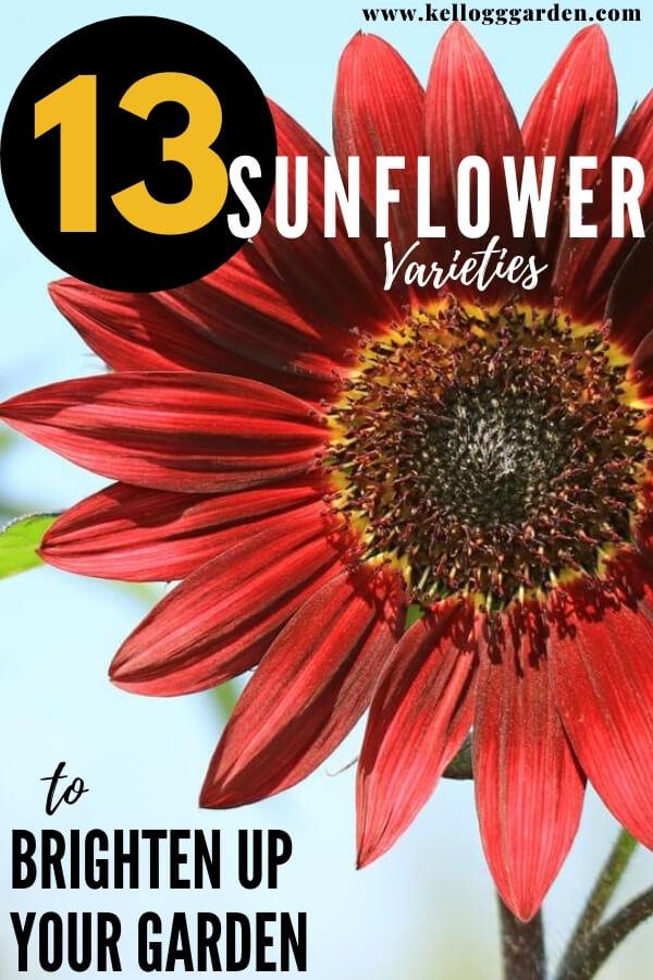"red sunflower with text, ""13 Sunflower Varieties to Brighten up the Garden"""