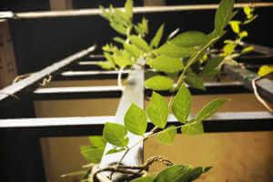 Close up of vine climbing a trellis