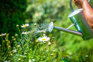 Watering can pouring water on flower garden