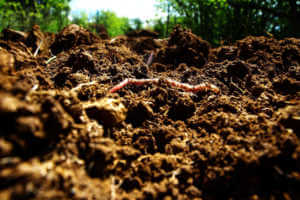 Worm digging in garden soil