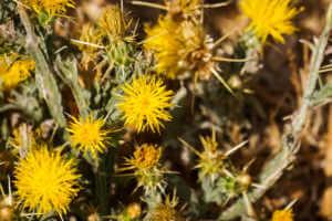 Yellow Star Thistle plant