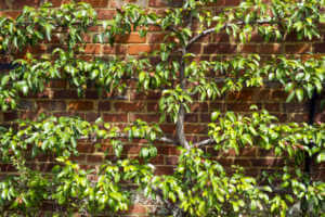 Espalier pear tree on brick wall