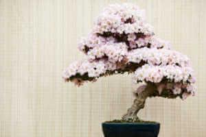 Pink azalea bonsai tree in pot
