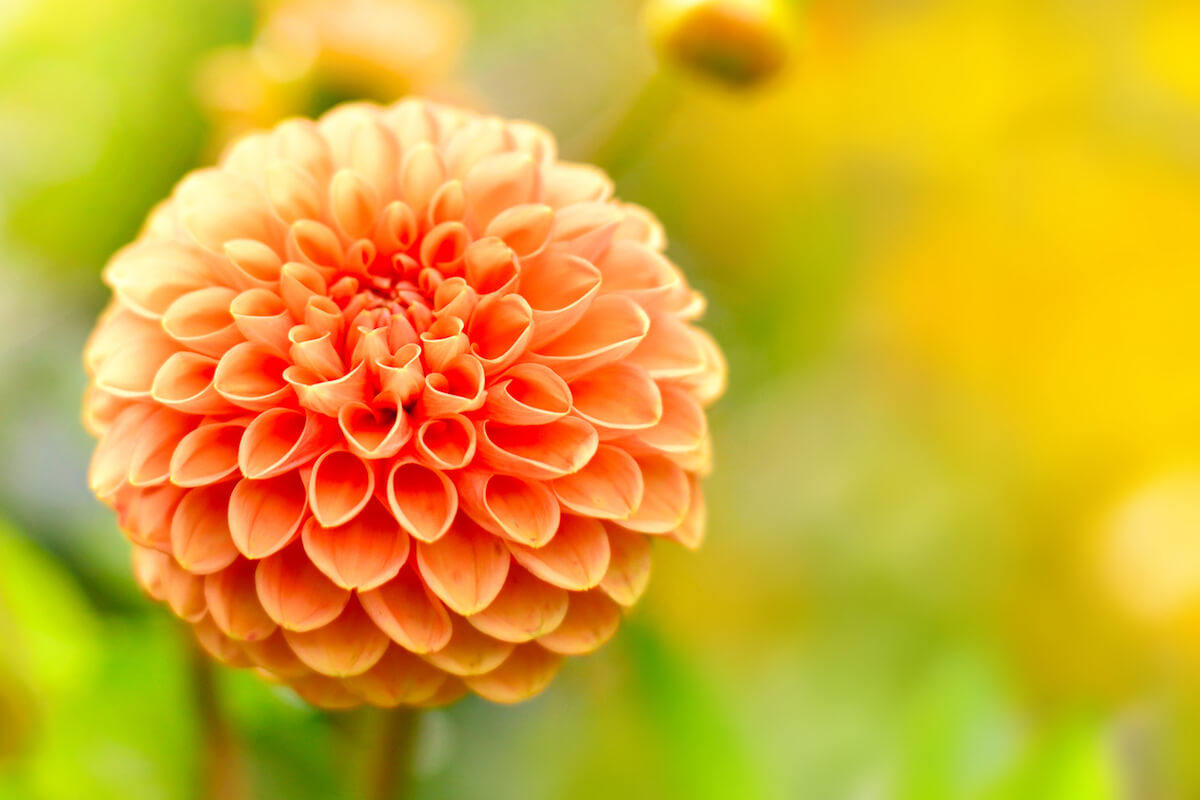 Ball and Pom Pon Dahlia