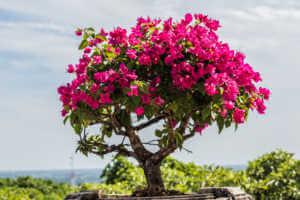 pink bougainvillea bonsai in garden