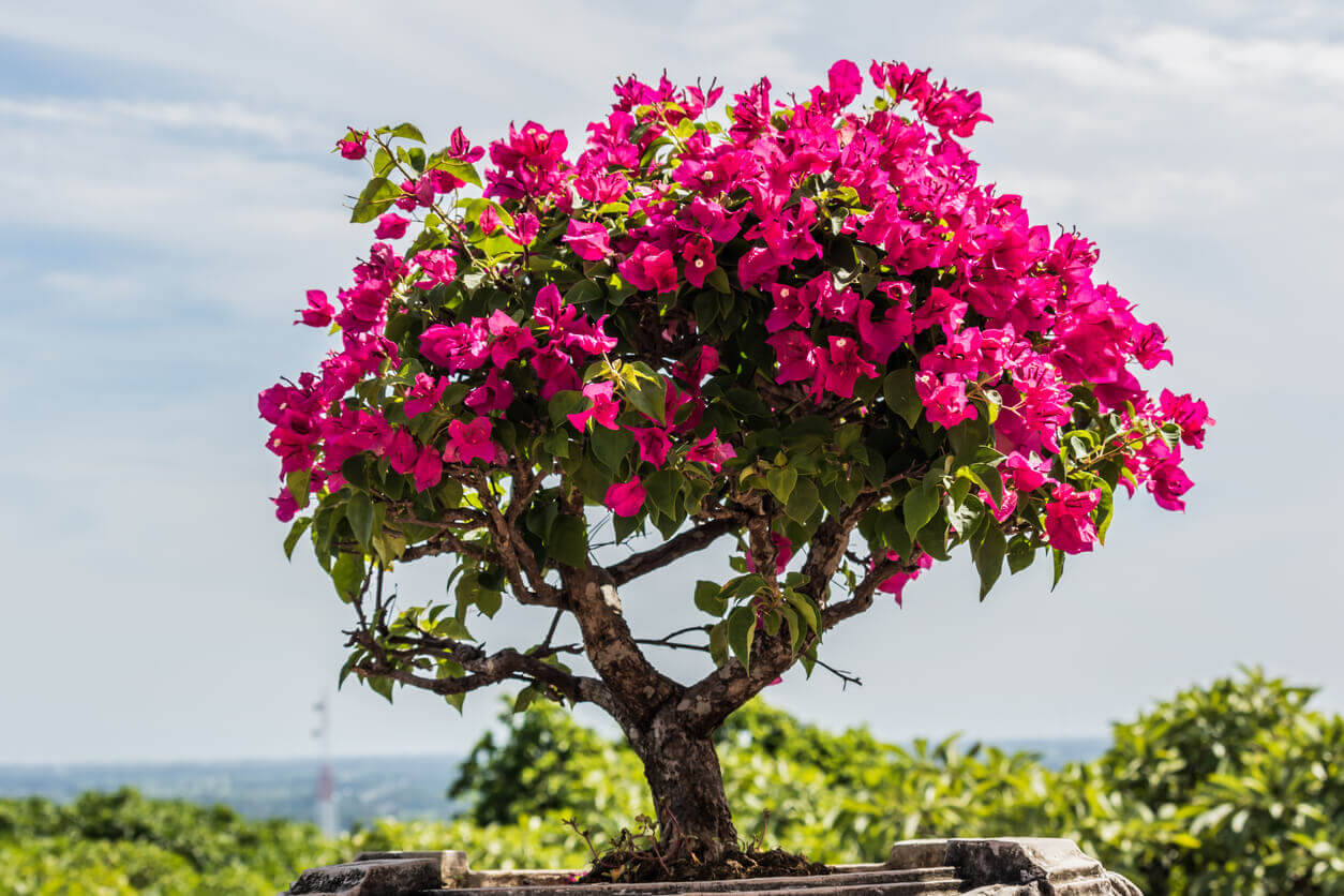 pink bougainvillea bonsai in garden