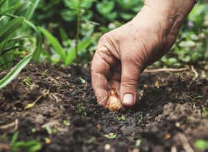Tender Bulb Planting