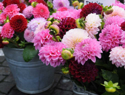 Pots Filled with Dahlias