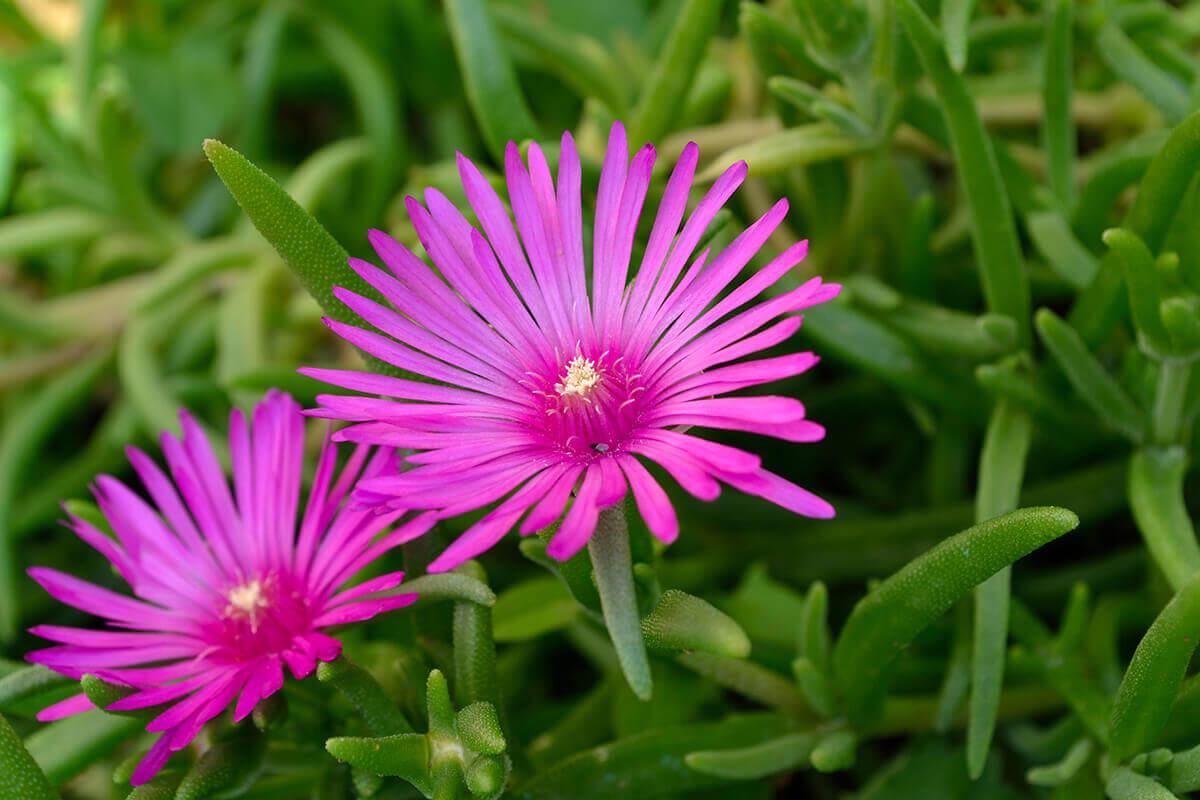 flowering succulent Delosperma cooperi