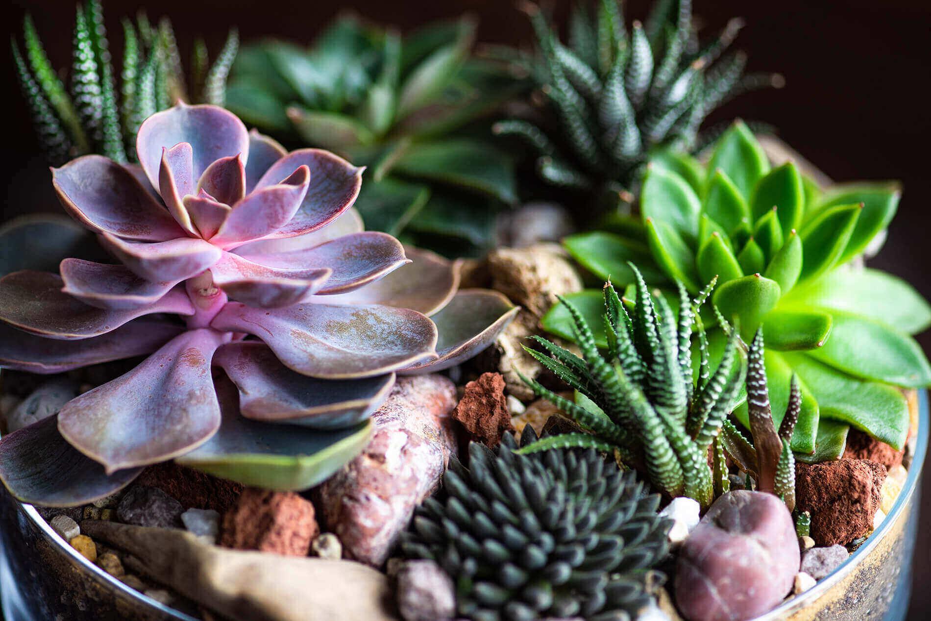Perle Von Nurnberg Succulent in arrangement