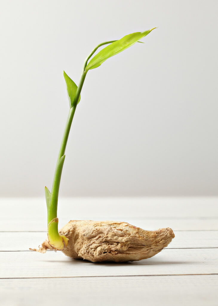 Regrowing Dried Ginger