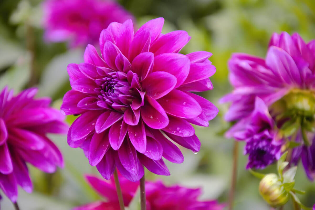 Dahlias with drops on petals