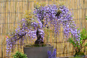 Bonsai of wisteria flowers.