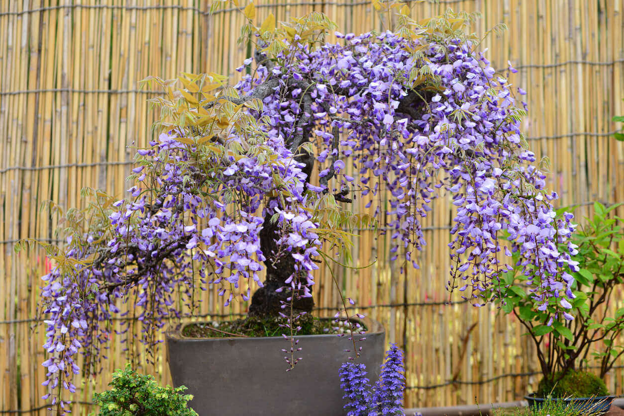 Bonsai of wisteria flowers.