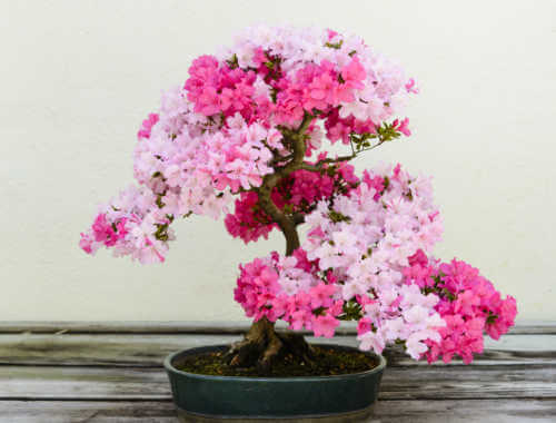 A flowering azalea bonsai tree in a ceramic pot sitting on a wooden table.