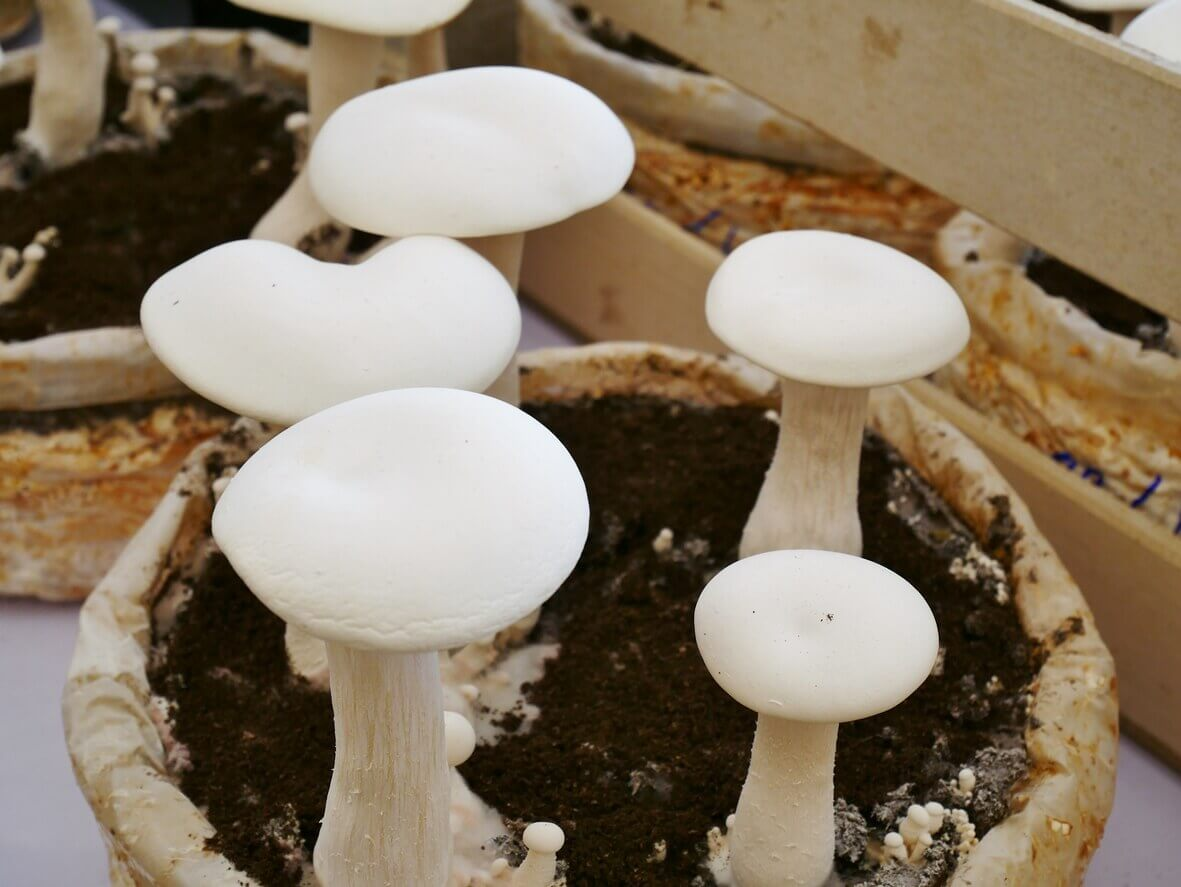 Button mushrooms growing