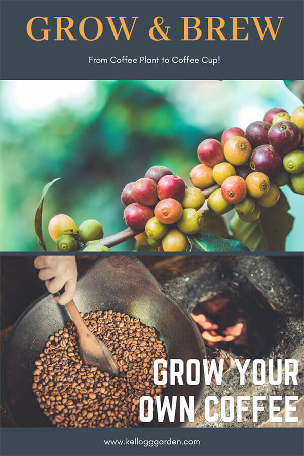 coffee plant to coffee bean roasting