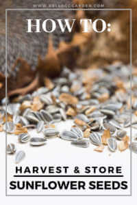 """Sunflower seeds with text, """"Harvest and store sunflower seeds'"""