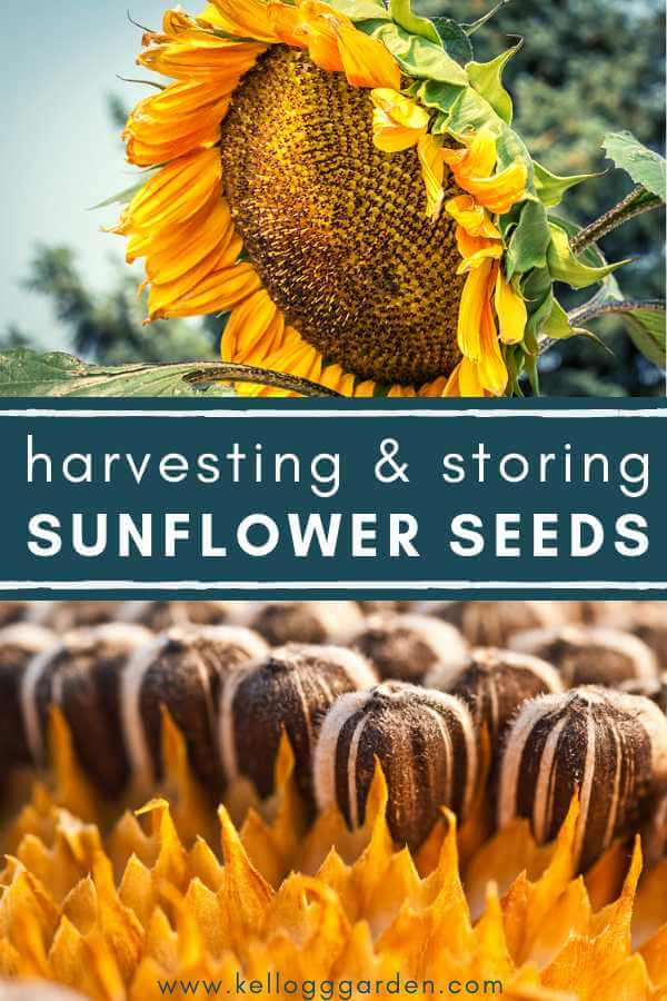 Harvesting and storing sunflower seeds pinterest image