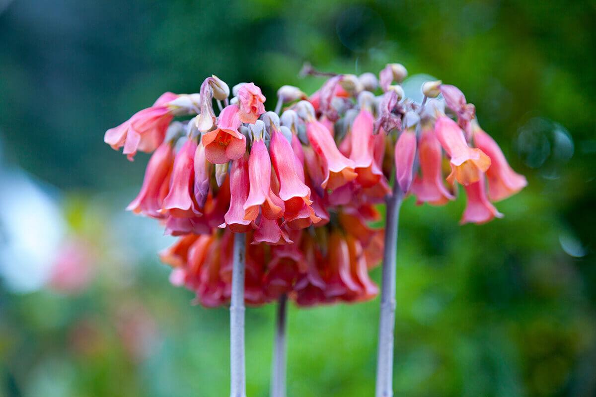 kalanchoe delagoensis succulent in the garden