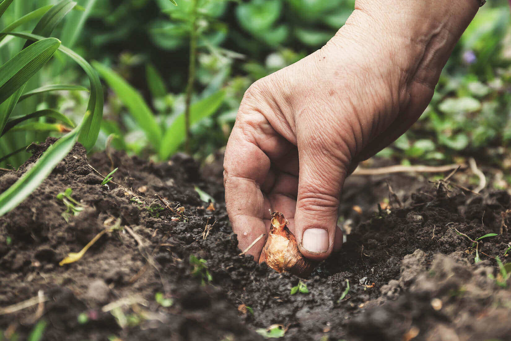 Planting Bulbs by hand