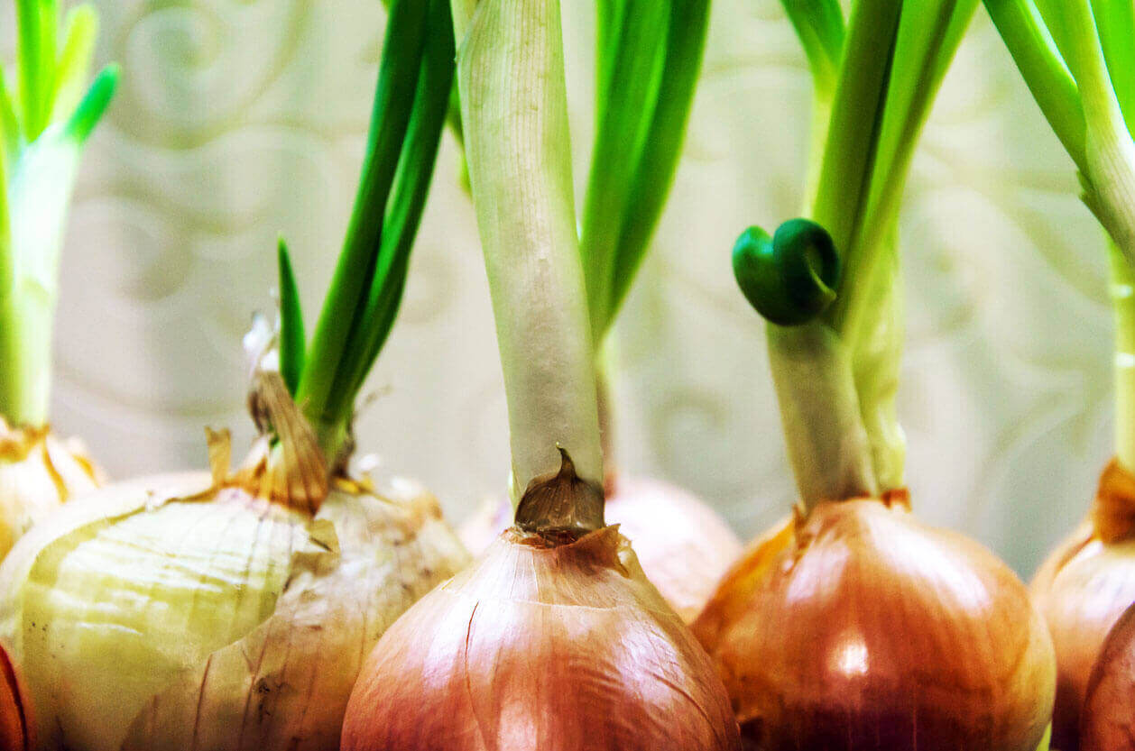 Onions lined up next to each other