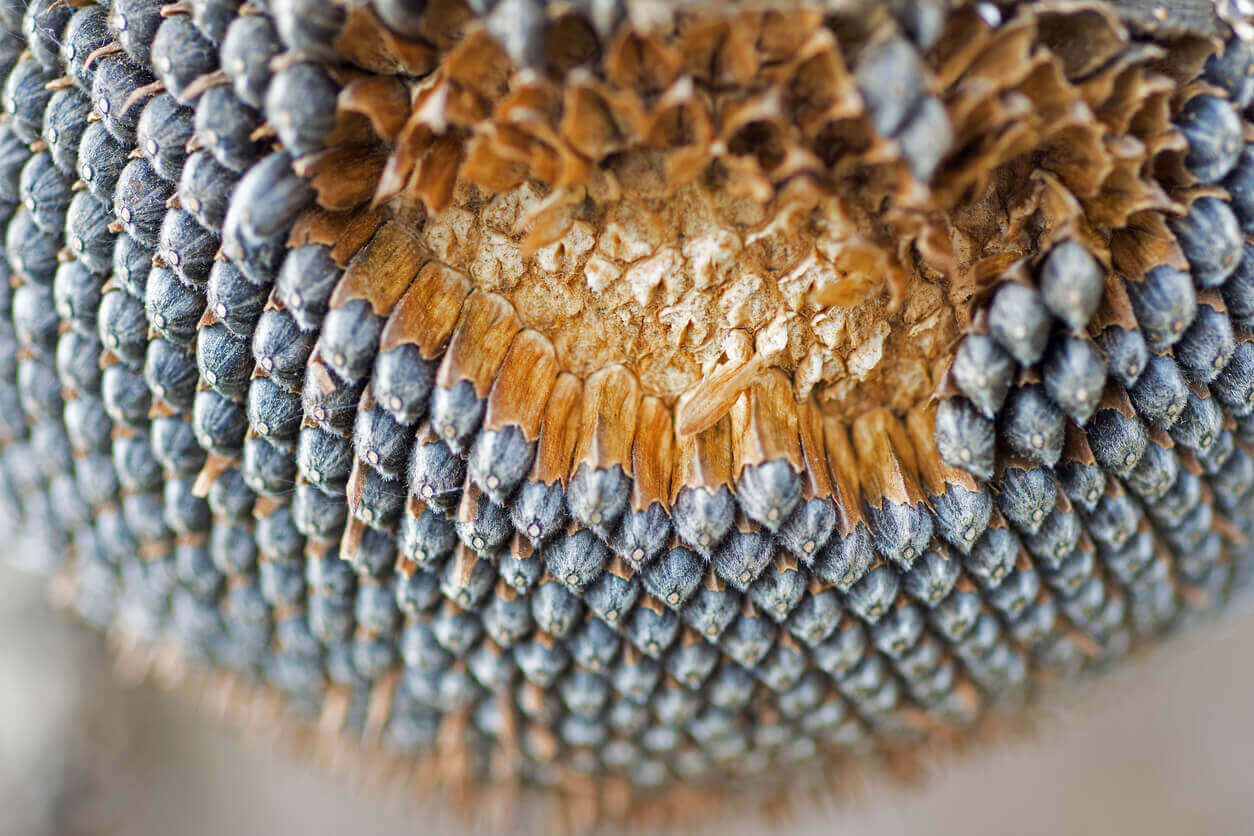 Close up of a dry sunflower head that is ripe