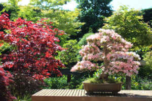 Satsuki azalea bonsai covered in pink flowers