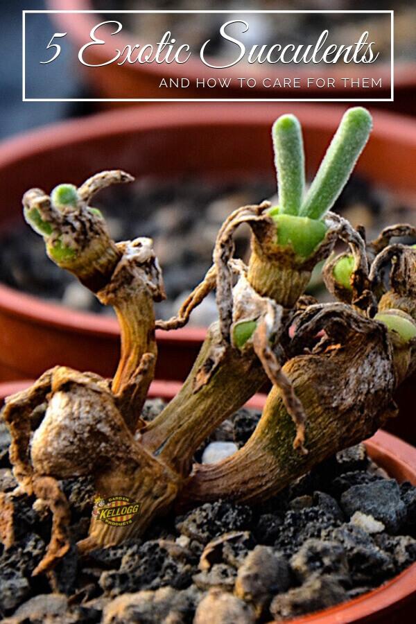 Exotic succulents pinterest image