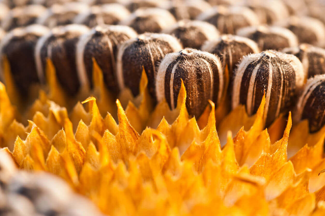 Close up of sunflower seeds in the flower head